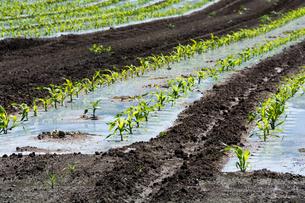 春のトウモロコシ畑の写真素材 [FYI00189680]
