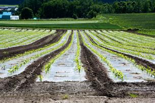 春のトウモロコシ畑の写真素材 [FYI00189697]
