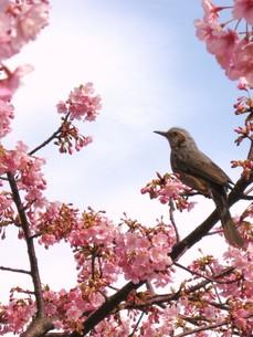 桜とひよどりの写真素材 [FYI00189798]