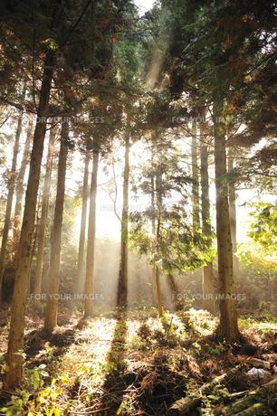杉林の朝の写真素材 [FYI00190730]