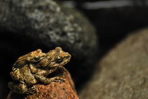 カエルの背中にカエルの写真素材 [FYI00190789]