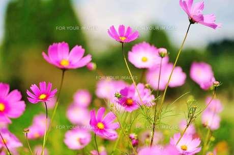 秋の花の写真素材 [FYI00190801]