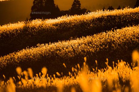 ススキの草原の写真素材 [FYI00190931]