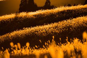 ススキの草原の素材 [FYI00190931]