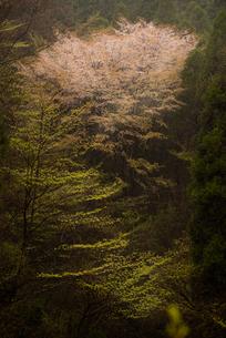 谷間にひっそりと咲く桜の素材 [FYI00190946]