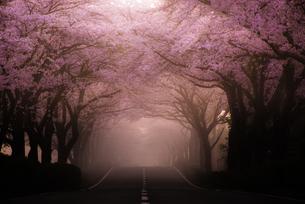 桜の道の写真素材 [FYI00190963]