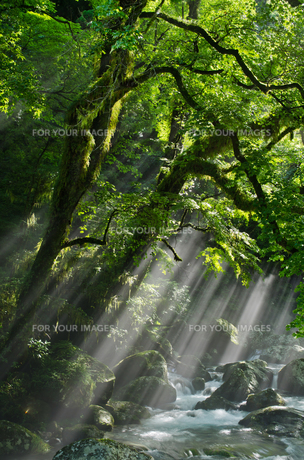 菊池渓谷の光芒の写真素材 [FYI00190997]