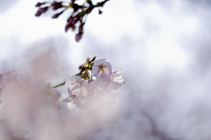 桜の花の素材 [FYI00191035]