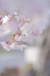 桜の花の写真素材 [FYI00191039]