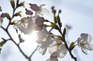 桜の花の写真素材 [FYI00191042]