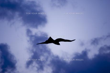荒天に飛ぶ鳶の写真素材 [FYI00191202]