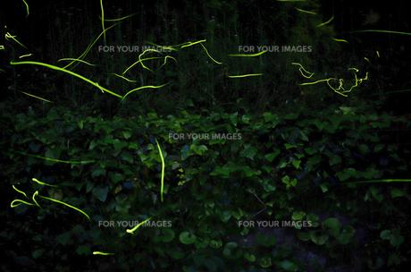 蛍の光の写真素材 [FYI00191205]