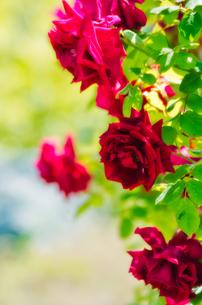 薔薇の写真素材 [FYI00191318]