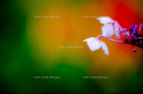 紫陽花の写真素材 [FYI00191333]
