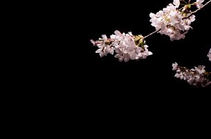 桜と黒い背景の写真素材 [FYI00191709]