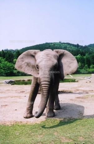 1頭の象の写真素材 [FYI00191855]