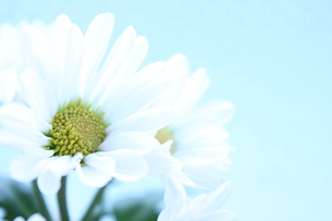 白い花の写真素材 [FYI00191861]