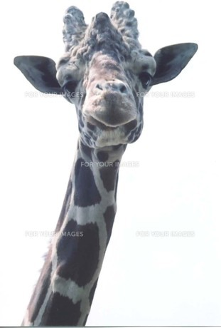 キリンのアップの写真素材 [FYI00191862]