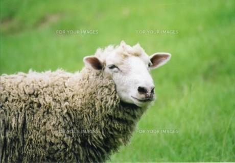 羊の写真素材 [FYI00191865]