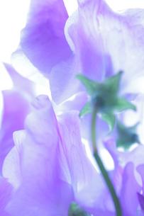 薄紫のスイートピーの写真素材 [FYI00191881]