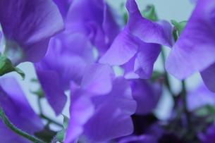 紫花びらの写真素材 [FYI00191899]