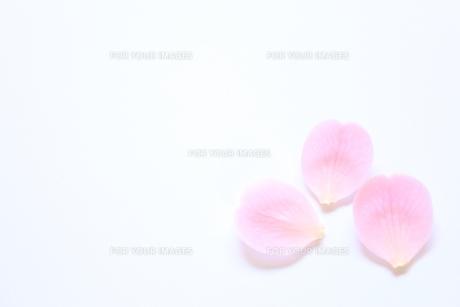 桜の花びらの写真素材 [FYI00191930]