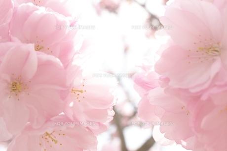 桜の写真素材 [FYI00191941]