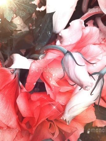 薔薇に零れる雨粒の写真素材 [FYI00192170]
