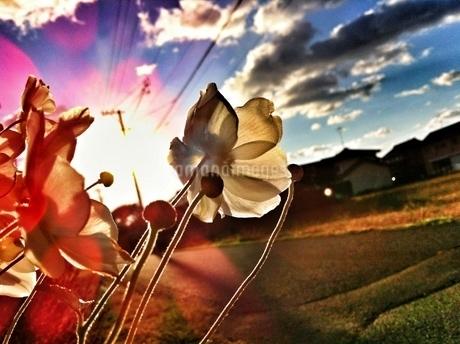 秋明菊の向こうに広がる青空の写真素材 [FYI00192172]