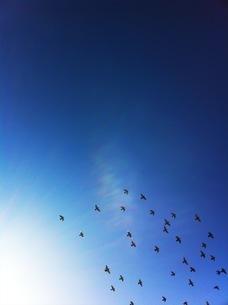 太陽を背に、大空を飛ぶ沢山の鳩達の写真素材 [FYI00192178]