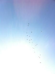 光の中へ向かう、鳩の群れの写真素材 [FYI00192183]
