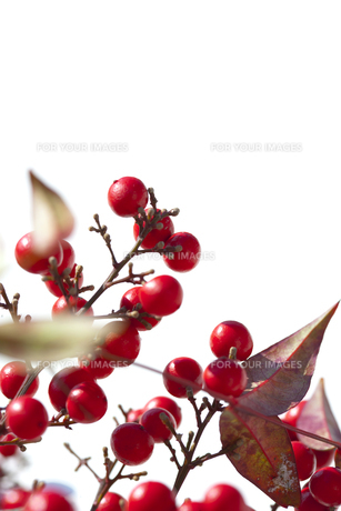 赤い木の実の素材 [FYI00192248]