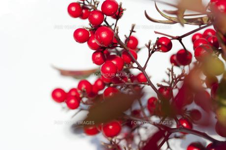 赤い木の実の写真素材 [FYI00192249]