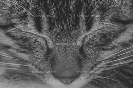 猫の写真。正面の写真素材 [FYI00192878]