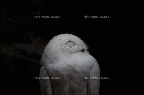 フクロウ、右向き。の写真素材 [FYI00192915]