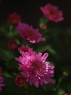 小菊の写真素材 [FYI00193017]