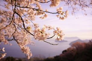 紫雲出山の桜の写真素材 [FYI00193137]