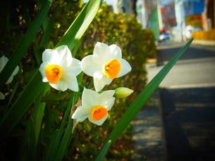 歩道脇の花の写真素材 [FYI00193234]
