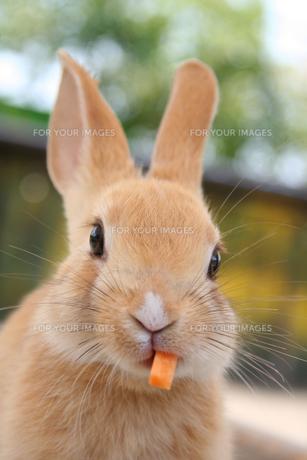にんじんを食べるこうさぎの写真素材 [FYI00193246]