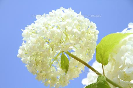 白い紫陽花 アナベルと青空の写真素材 [FYI00193303]