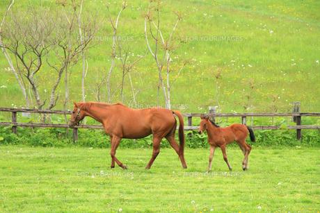 馬の親子 北海道の牧場 年賀2014の写真素材 [FYI00193442]
