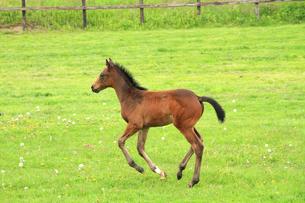 走る馬の赤ちゃん 午年年賀状の写真素材 [FYI00193467]