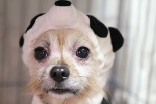 真剣な顔のパンダ犬の写真素材 [FYI00193506]