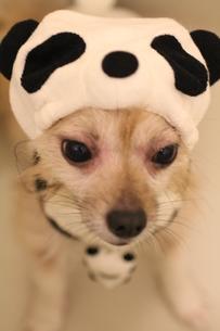 パンダ犬の写真素材 [FYI00193507]