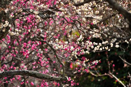 梅咲く新春の写真素材 [FYI00193541]