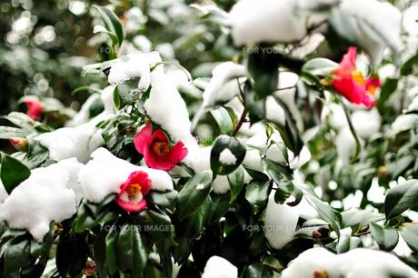 冬、たくましく咲く椿。雪に負けず・・・の素材 [FYI00193545]