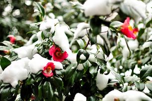 冬、たくましく咲く椿。雪に負けず・・・の写真素材 [FYI00193545]