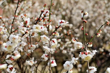 咲き誇る梅の素材 [FYI00193553]