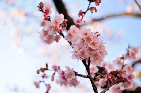 桜咲く♪の写真素材 [FYI00193554]