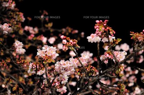 夜桜〜咲き始め〜の写真素材 [FYI00193555]